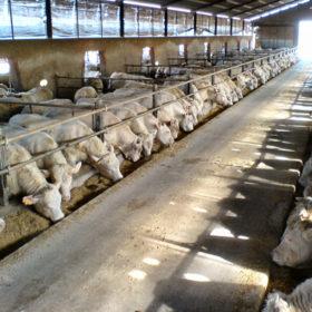 stalla-sociale-monastier-allevamento (2)